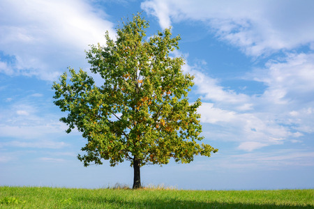 Beautiful lonely oak with colorful autumn leaves on a green meadow on a sunny day (high details).