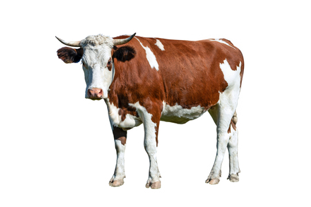 Young spotted white-brown dairy cow isolated on a white background