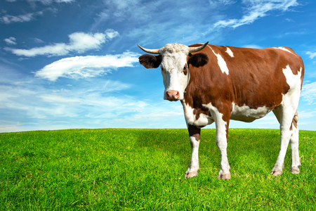 Young spotted white-brown dairy cow on a green meadow in a sunny day (copy space). Stock Photo