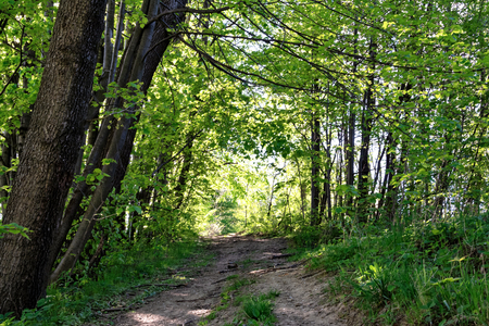 Forest path among green trees on a sunny day