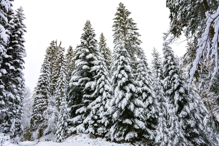 Winter landscape - high and snowy spruce trees in a deep forest 免版税图像