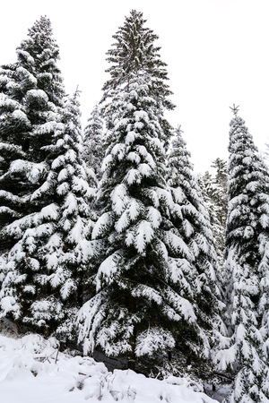 Winter landscape - high and snowy spruce trees in a deep forest Stock Photo