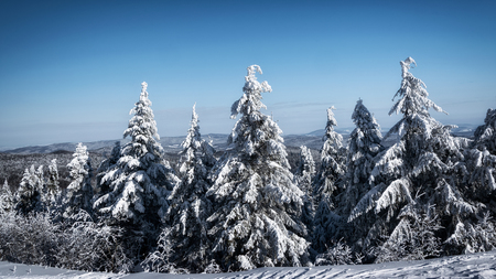 Picturesque and scenic panorama of winter mountains with snow covered spruce forest on a sunny day