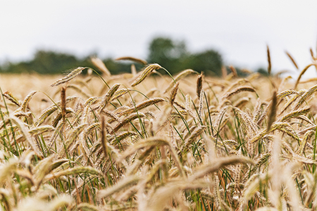 Agricultural landscape - ears of cereal in a field on a cloudy sky background in summer
