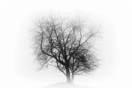 Single leafless tree in a deep fog on a hill ( black and white intense effect). Stock Photo