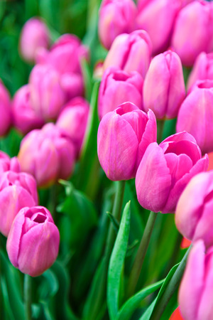 Plantation of fresh pink tulips flowers as a full frame floral background.