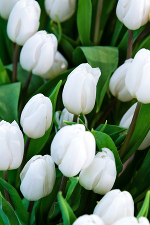 Plantation of fresh white tulips flowers as a full frame floral background.