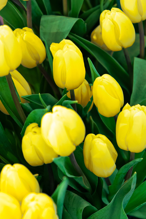 Plantation of fresh yellow tulips flowers as a full frame floral background.