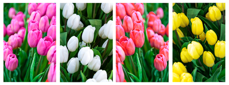 Collage of fresh multi colors tulips flowers as a floral banner.