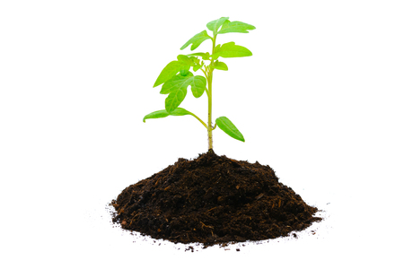 Healthy eating and new life concept - young tomato plant with soil isolated on a white background in close-up