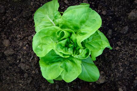 Organic food concept - top view of a green butterhead lettuce on the ground in the farm.