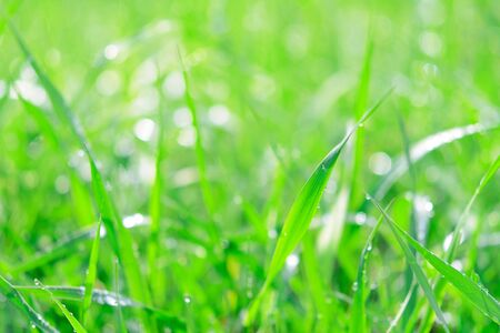 Fresh green grass with dew drops and sunlights as a full frame nature abstract background.