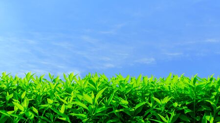 Fresh green hedge row on a clear blue sky background with copy space. Reklamní fotografie
