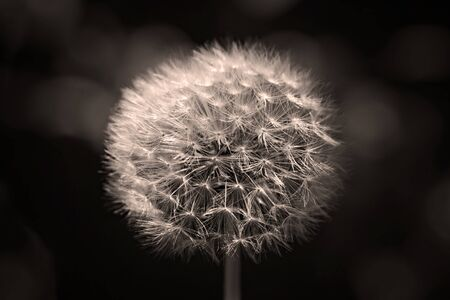 Balck and white version of dandelion flower after flowering on a dark background in close-up.
