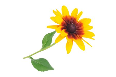 Single Rudbeckia flower with yellow petals and green leaves on a white background in closeup. 스톡 콘텐츠