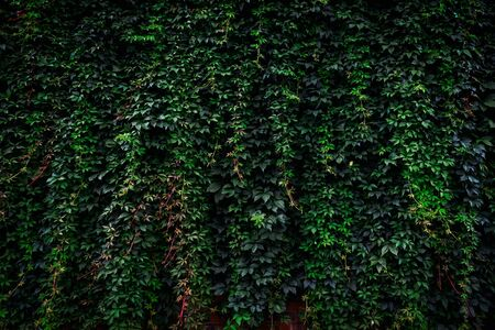 Large archival old brick wall covered with lush green ivy plants (high details).