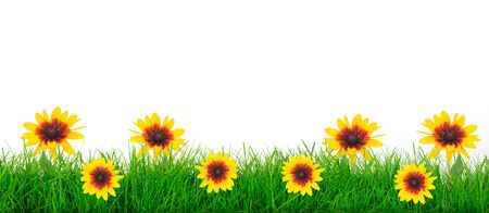 Natural green grass meadow with yellow flowers on a white background in close-up with copy space ( mixed) Imagens