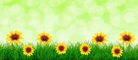 Natural green grass meadow with yellow flowers on a blurred meadow background with copy space ( mixed)