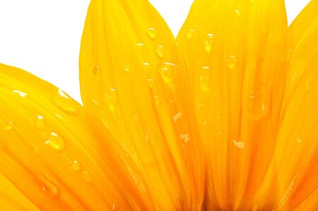 Petals of a yellow flower with water drops in close-up on a white background Imagens