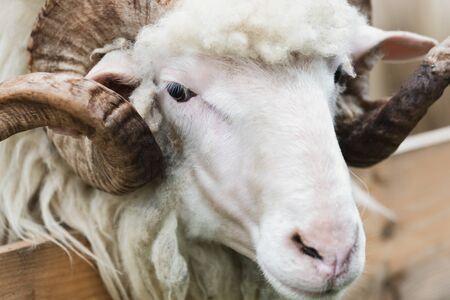 Primer plano de la cabeza de un carnero con un cuerno grande en el patio de la granja