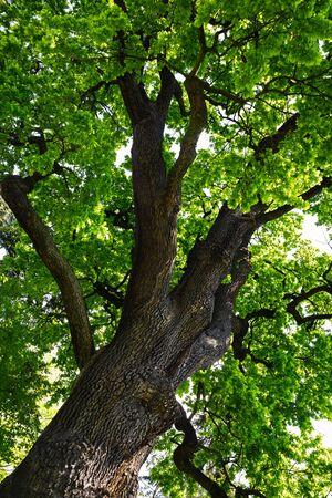 Crown of an old oak tree with green young leaves on a sunny day in the public park.