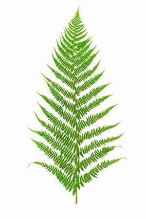 Perfektes grünes Farnblatt isoliert auf weißem Hintergrund in Nahaufnahme