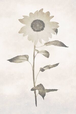 Digital art painting canvas - sepia toned image of sunflower on a vintage background.