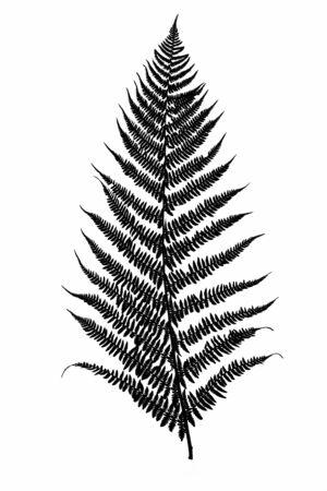 Schwarzes Farnblatt-Silhouette isoliert auf weißem Hintergrund in Nahaufnahme Standard-Bild