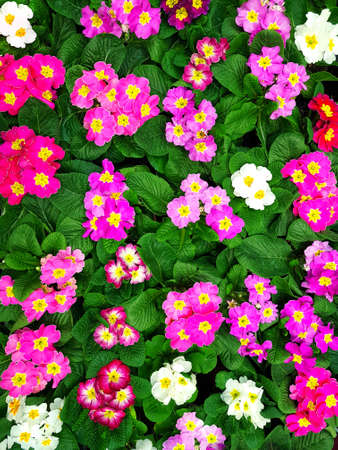 Top view of blooming multi-colored flowers as a floral background or full frame texture.