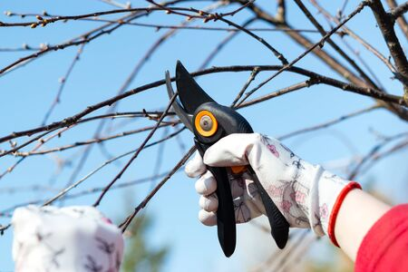 Home gardening concept. Close-up of a woman hand cutting twig of fruit tree in the garden on a sunny day