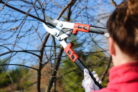 Home gardening concept. Young woman cutting twig of fruit tree in the garden on a sunny day Stock Photo