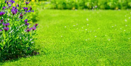 Wide horizontal landscape of a green lawn and flowerbed with violet cornflowers in a beautiful summer garden (copy space)