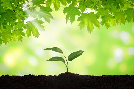 New life concept - fresh green leaves of clone over new seedling plant in a brown soil on a sunny day