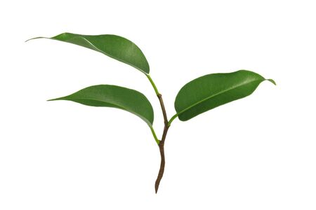 Young green plant of Ficus Benjamina isolated on a white background in close-up