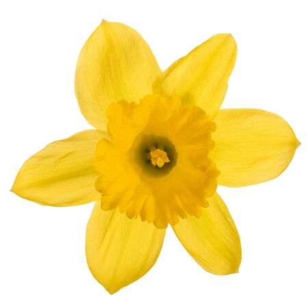 Studio shot of a daffodil flower head isolated on a white background in close-up