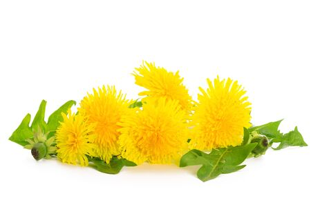 Bunch of fresh yellow dandelions with green leaves isolated on a white background in close-up
