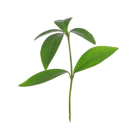 Young green plant of Periwinkle isolated on a white background in close-up