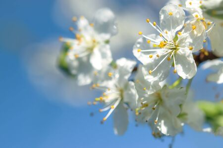 Beautifully blooming cherry brunch on the blue sky background on a sunny spring day in close-up Stock Photo