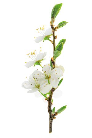 Beautiful blossoming cherry branch isolated on a white