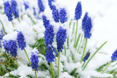 Spring garden with a group of blooming blue Muscari flowers covered with snow Stock Photo
