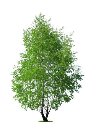 Fresh green birch tree isolated on a white background (high details) Stock Photo