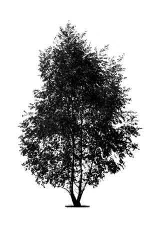Silhouette of a black birch tree isolated on a white background (high details)