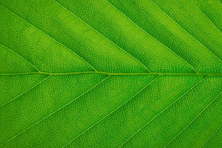 Close-up of a fresh green leaf texture background (high details) Stock Photo