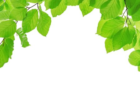 Spring eco friendly template - vivid green branches of beech tree isolated on a white background with copy space