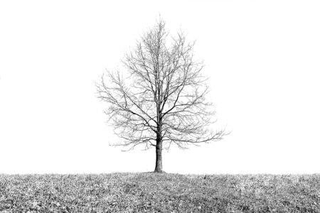 Digital art painting canvas - monochromatic modified image of a single oak tree with dry earth horizontal line on a white background