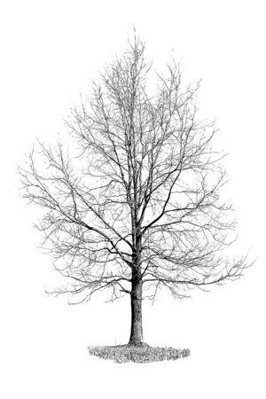 Digital art painting canvas - monochromatic modified image of a single oak tree on a white background Stock Photo