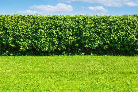 Summer garden landscape - a green lawn and a big hedge on a blue sky background with copy space Standard-Bild