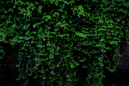 Dark Green toned image of an archival old brick wall covered with lush ivy plants (high details). Stockfoto