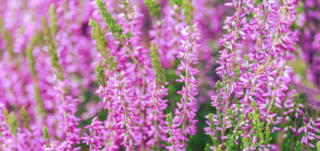 Beautiful wide background of blooming Heather flowers in close-up