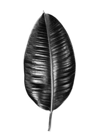 Black leaf of a tropical flower ficus elastica isolated on white background. Ideal for print canvas home decoration.